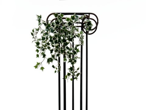 Holland Ivy Bush Tendril Classic, 60cm