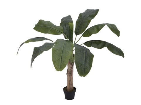 Image of   Banana tree, 100cm