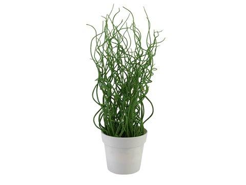 Image of   Europalms Corkscrew grass in white pot, PE, 38cm