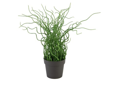 Image of   Europalms Corkscrew grass in brown pot, PE, 38cm