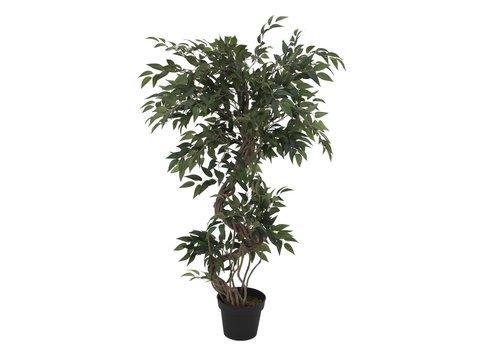 Image of   Ficus multiple spiral trunk, 130cm