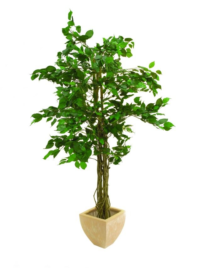 Billede af Kunstig Ficus tree multi-trunk, 150cm