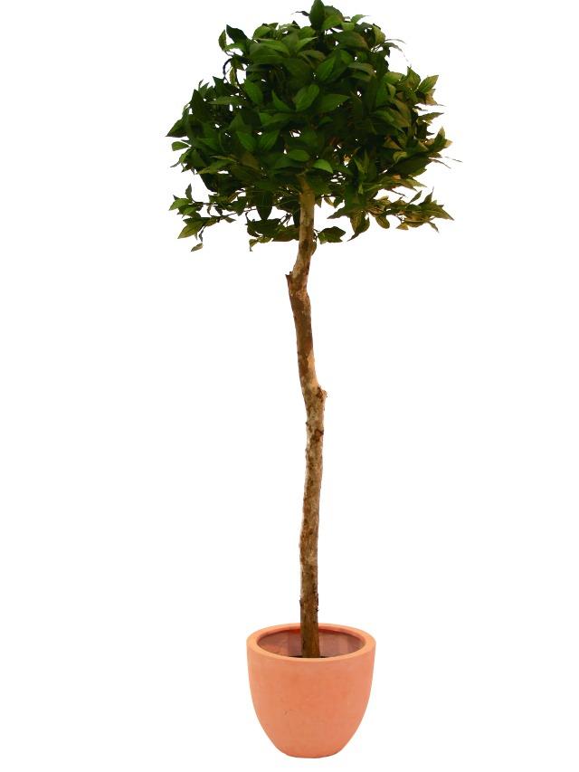Image of   Kunstig Laurbærblade træ, 150cm