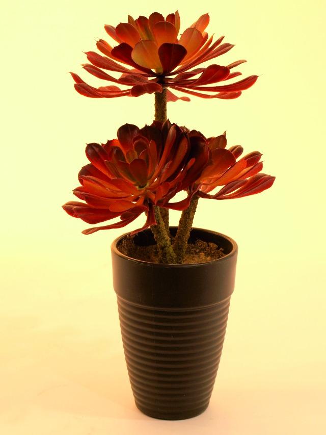 Kunstig  Aeonium sukkulent, mørkerød, 28 cm